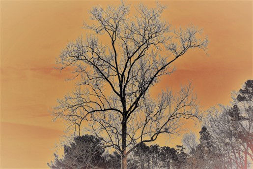 TTW360Z5 peachy tree1