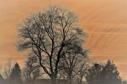 TTW360Z6 peachy tree2